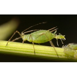 Aphid / Mite / Whitefly Package