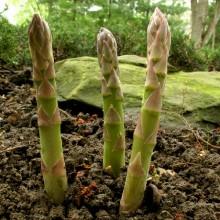 Seedling Mary Washington Asparagus
