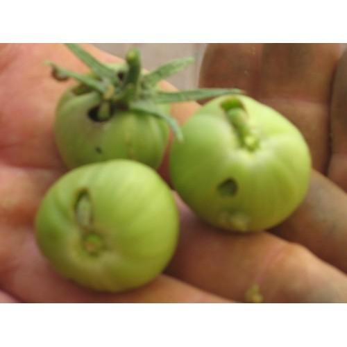 Cutworm, Tomato Bollworm and Tomato Semi Looper : Trap System