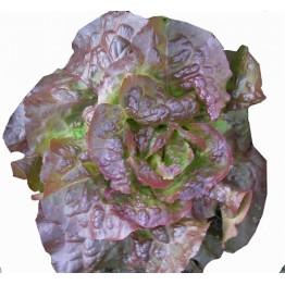 Carmona Red Lettuce
