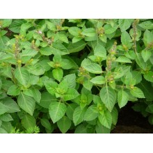 Clove Scented Basil