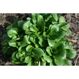 Corn Salad (Lambs Lettuce)