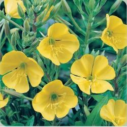 Evening Primrose Golden Yellow