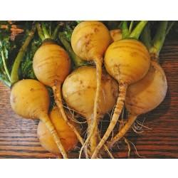 Golden Globe Turnip