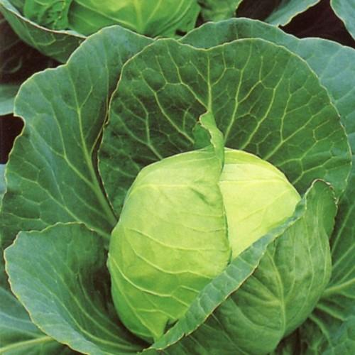 Golden Acre Cabbage