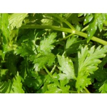 Italian Parsley (Flat Leaf)