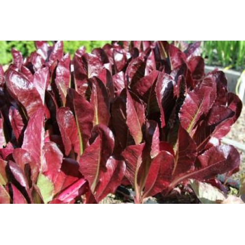 Romaine Red Lettuce