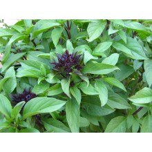Licorice Basil