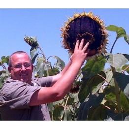 Sunflower Nigerian Oilseed
