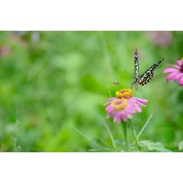 Pollinator Flower Blend