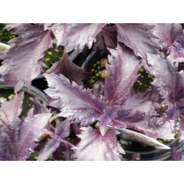 Purple Ruffles Basil