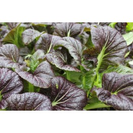 Purple Wave Mustard