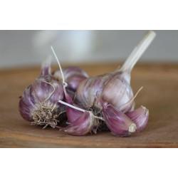 Heirloom Garlic Purple Glazer