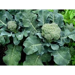 Broccoli Quickstem (Early)