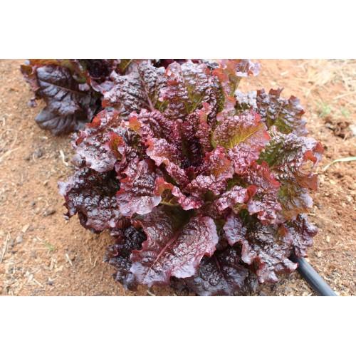 Ruby Red Lettuce
