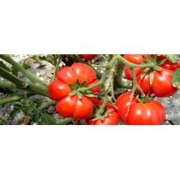 Santorini Tomato