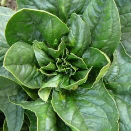 Lorelei Spinach