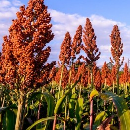 Apache Red Sorghum (Sugar Cane)
