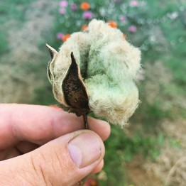 Arkansas Green Lint Cotton