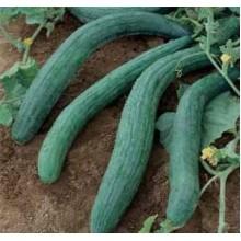 Armenian Dark Green Cucumber
