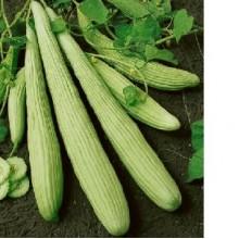 Armenian Yard Long Cucumber