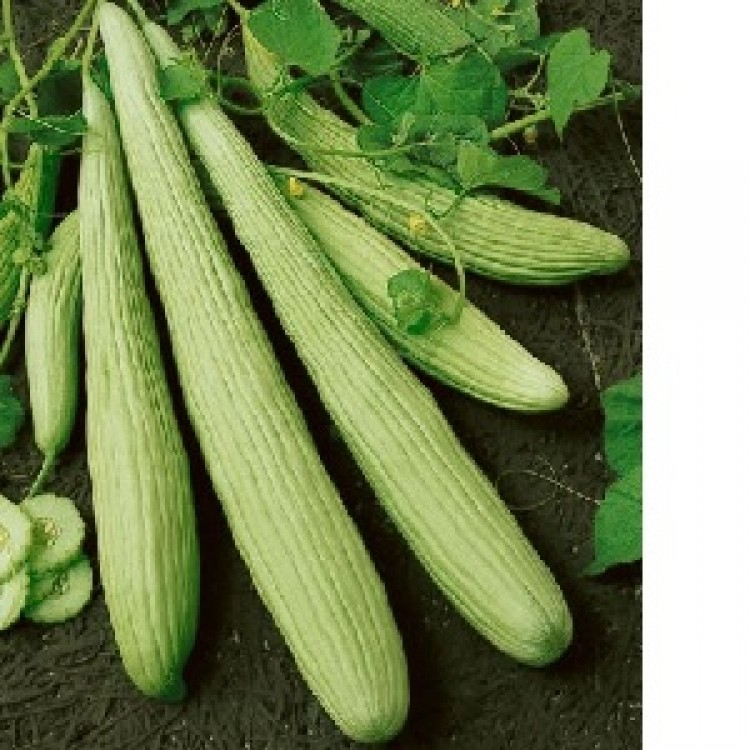 Armenian Yard Long Cucumber