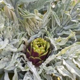 Artichoke Purple Italian