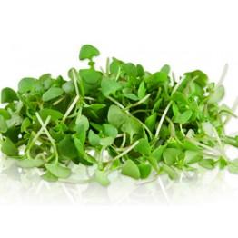 Green Basil Microgreen Seed