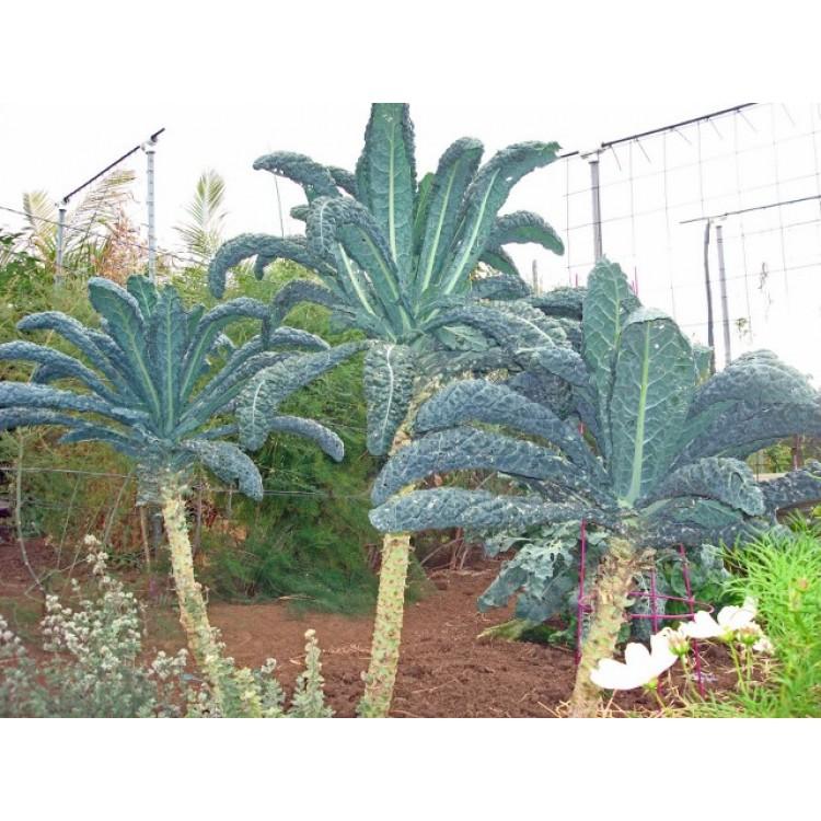 Black Palm Kale