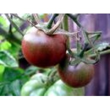 Seedling Black Cherry Tomato