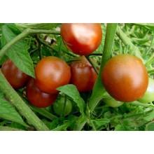 Seedling Bloody Butcher Tomato
