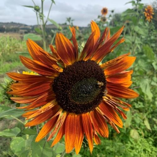 Burnt Umber Sunflower