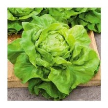 Seedling Butter King Lettuce