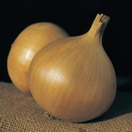 Caledon Globe Onion