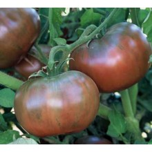 Seedling Cherokee Purple Tomato