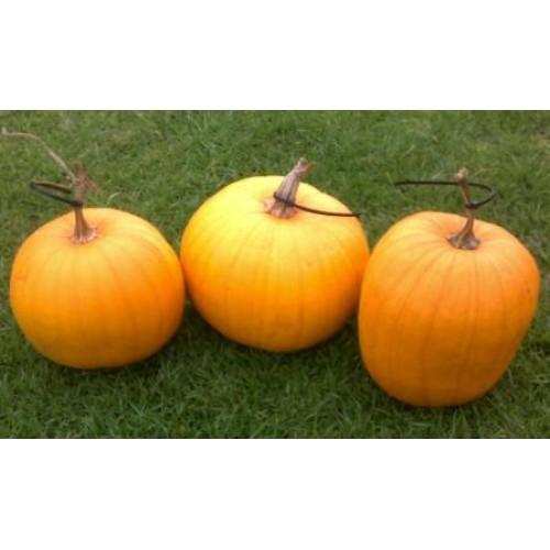 Conneticut Field Pumpkin