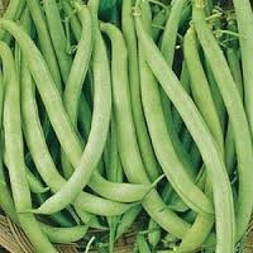 Contender Bush Beans