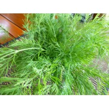Seedling Dill Bouquet