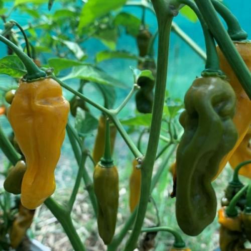 Fluorescent Mustard Scorpion
