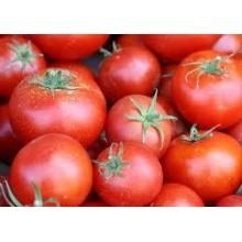 Seedling Geranium Kiss Tomato
