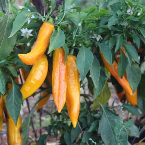 Golden Punt Paprika
