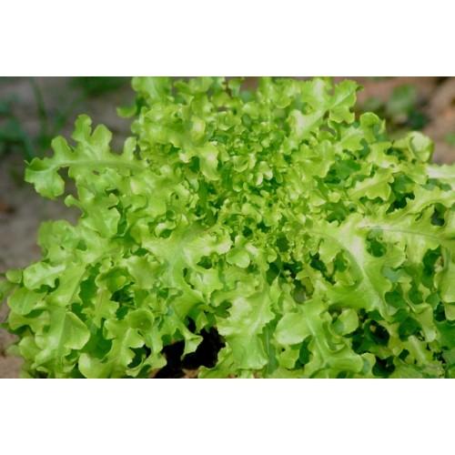 Salad Bowl Green