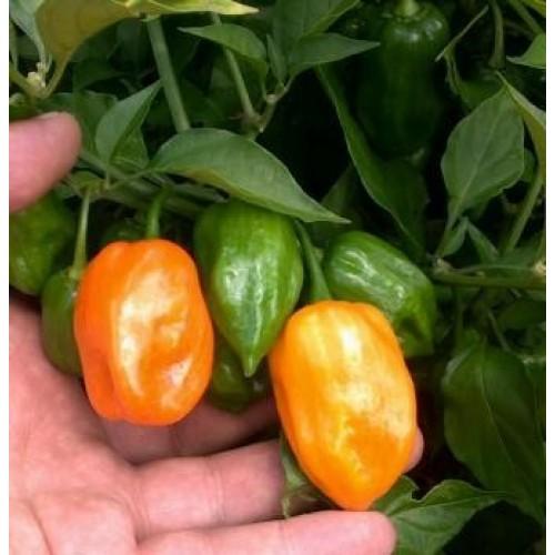 Orange Habanero Pepper