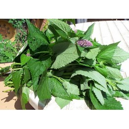 Korean Mint (Hyssop)