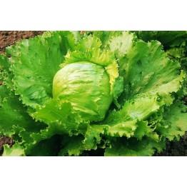 Saladin Lettuce