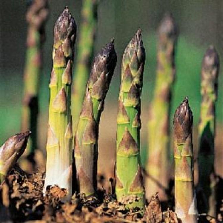 Asparagus Crowns Mary Washington