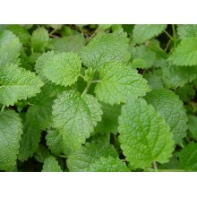 Melissa or Lemon Balm