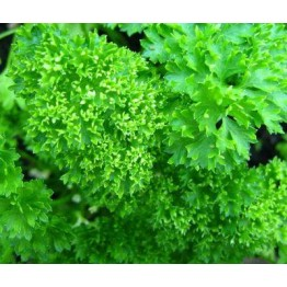 Moss Triple Curled Parsley