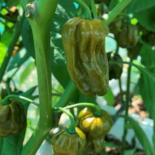 Trinidad Scorpion Mustard