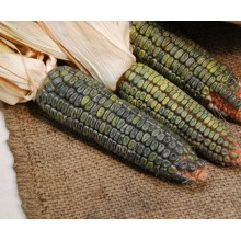 Green Oaxacan Corn